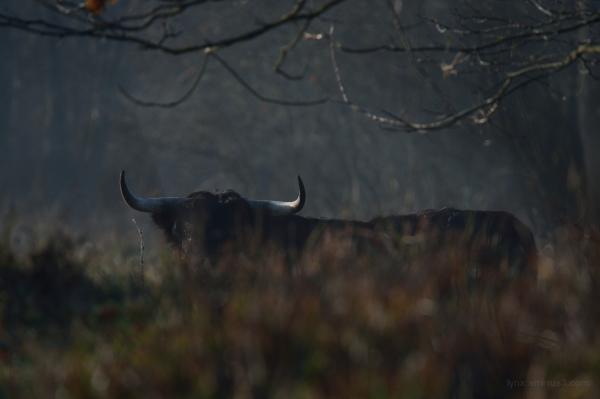 Black bull in the morning