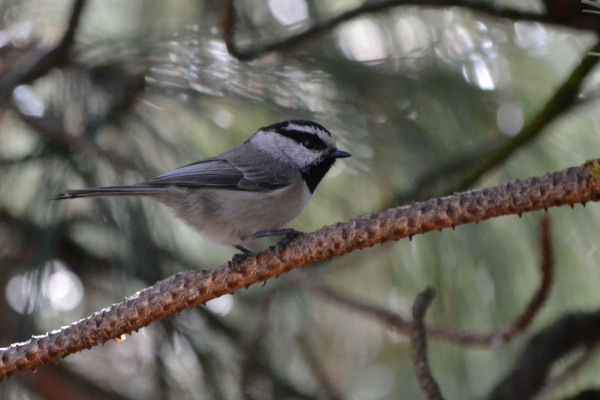 A Mountain Chickadee.