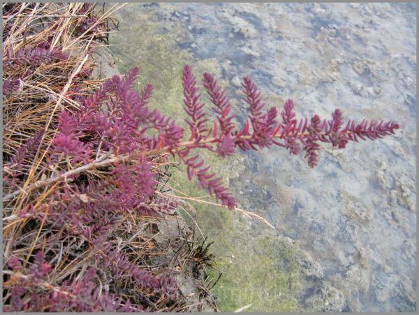 Plante des marais