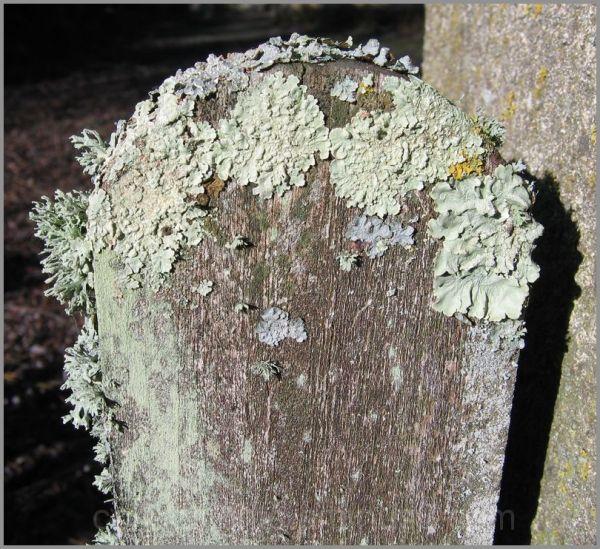Les assauts du lichen
