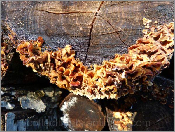Le champignon en plis serrés sur le bois humide