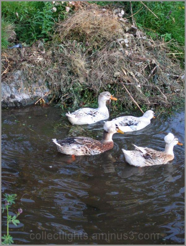 Canards au fil de l'eau