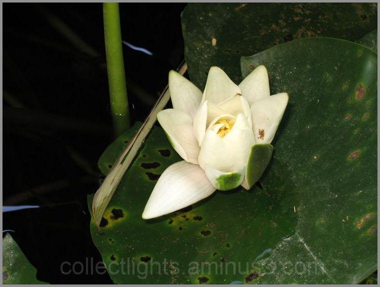 Blanche fleur flottante