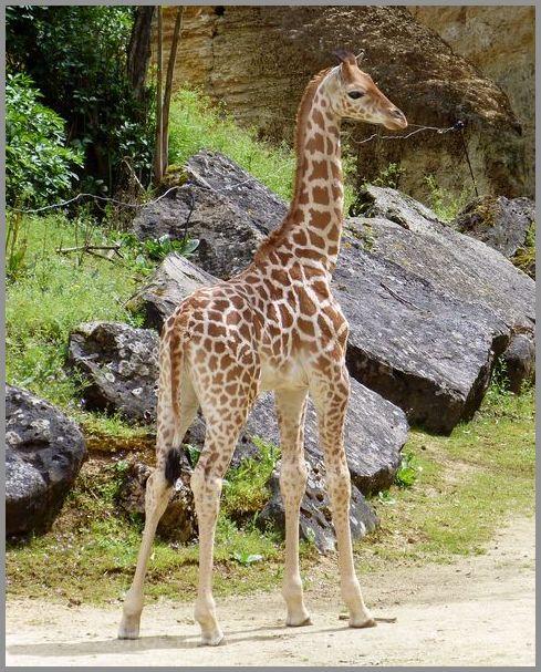 Un girafon très mignon !