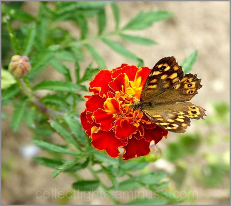 Battement d'ailes sur fleur rouge