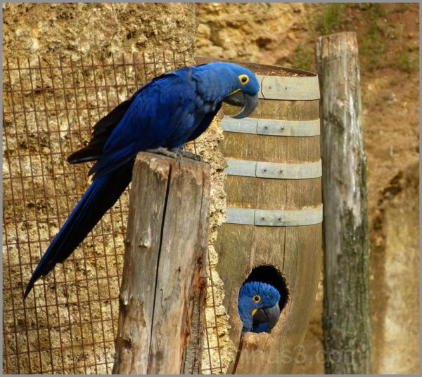 Plumage bleu et paire d'yeux aux aguets