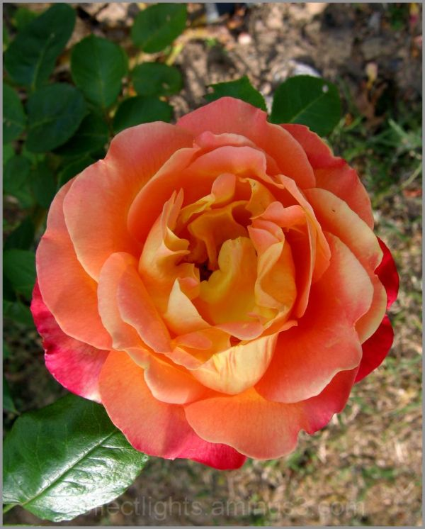 Simplement une jolie rose couleur orange