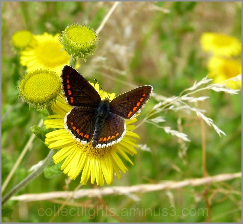 Papillon sur salsifis
