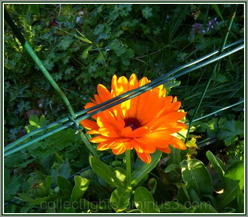 Pas de limite pour la fleur qui se resème seule