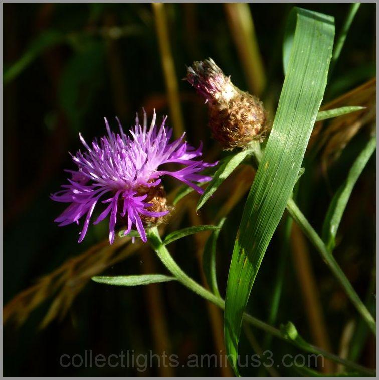 Fleur des champs incultes