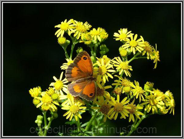 Le papillon est venu vous saluer