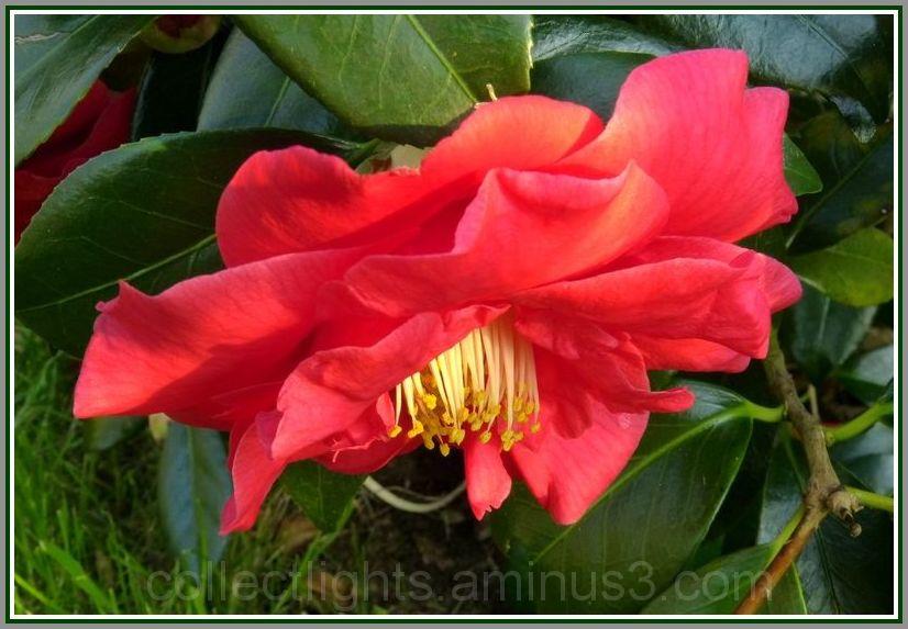 Sous le poids des pétales, la fleur se renverse.