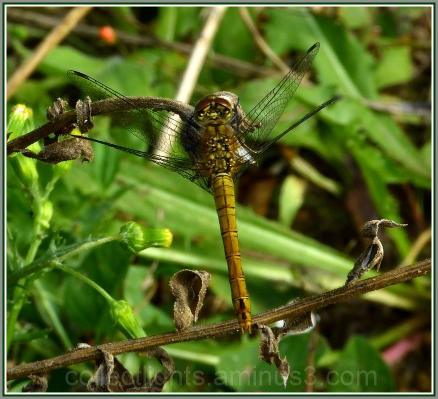 Haloween chez les libellules