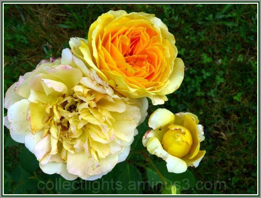 Trois stades du cycle floral