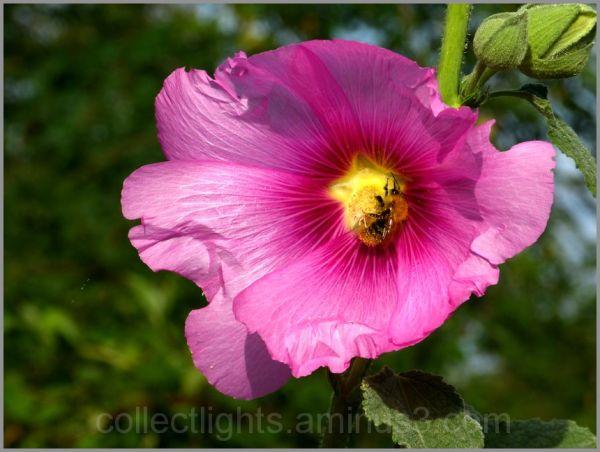 Les visiteurs des fleurs 24/...