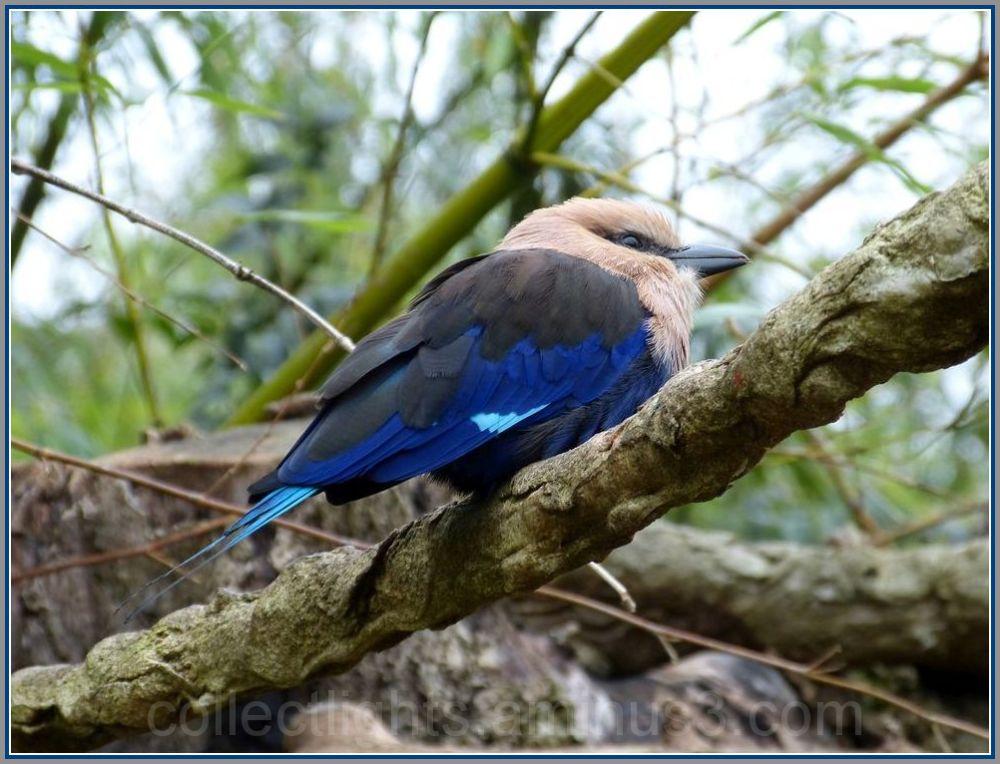 J'ai déniché l'oiseau bleu !