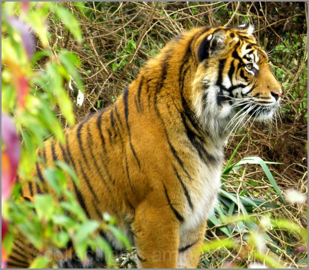 La tigresse est sur ses gardes