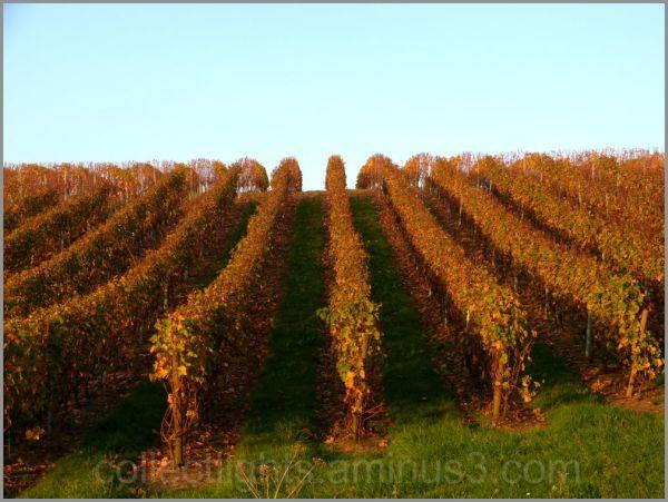 Les vignes enjambent la colline