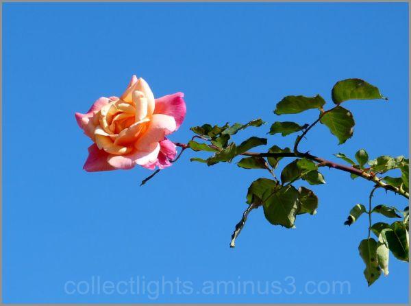 Une rose tendue