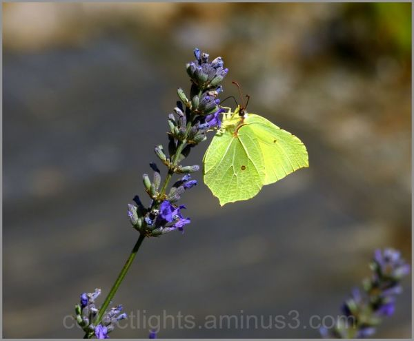Papillon 41
