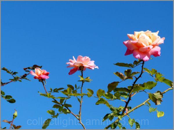 Quelques roses !