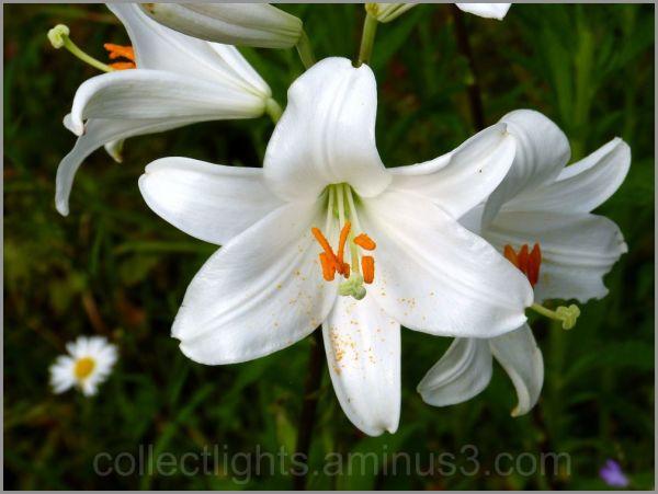 Lys blanc