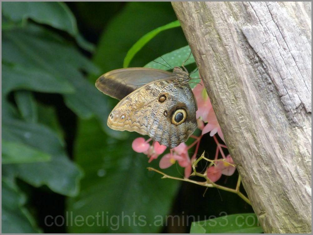 Papillon 43