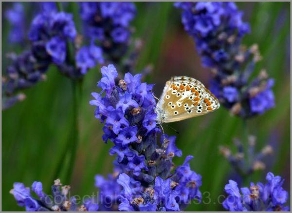 Papillon 44