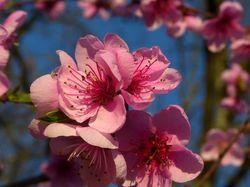 Branche fleurie, promesse de fruits