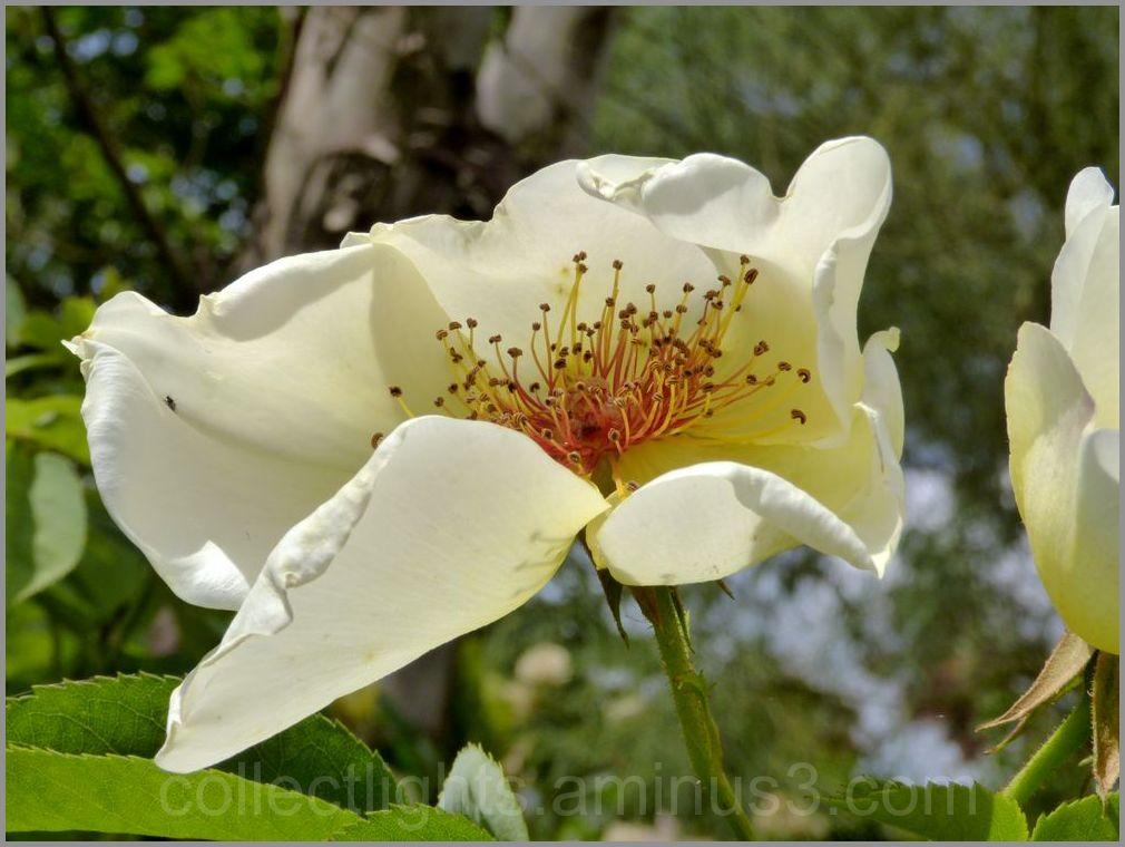 Exquise fleur