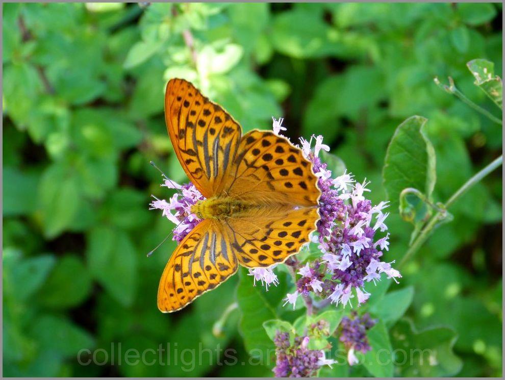 Papillon 49