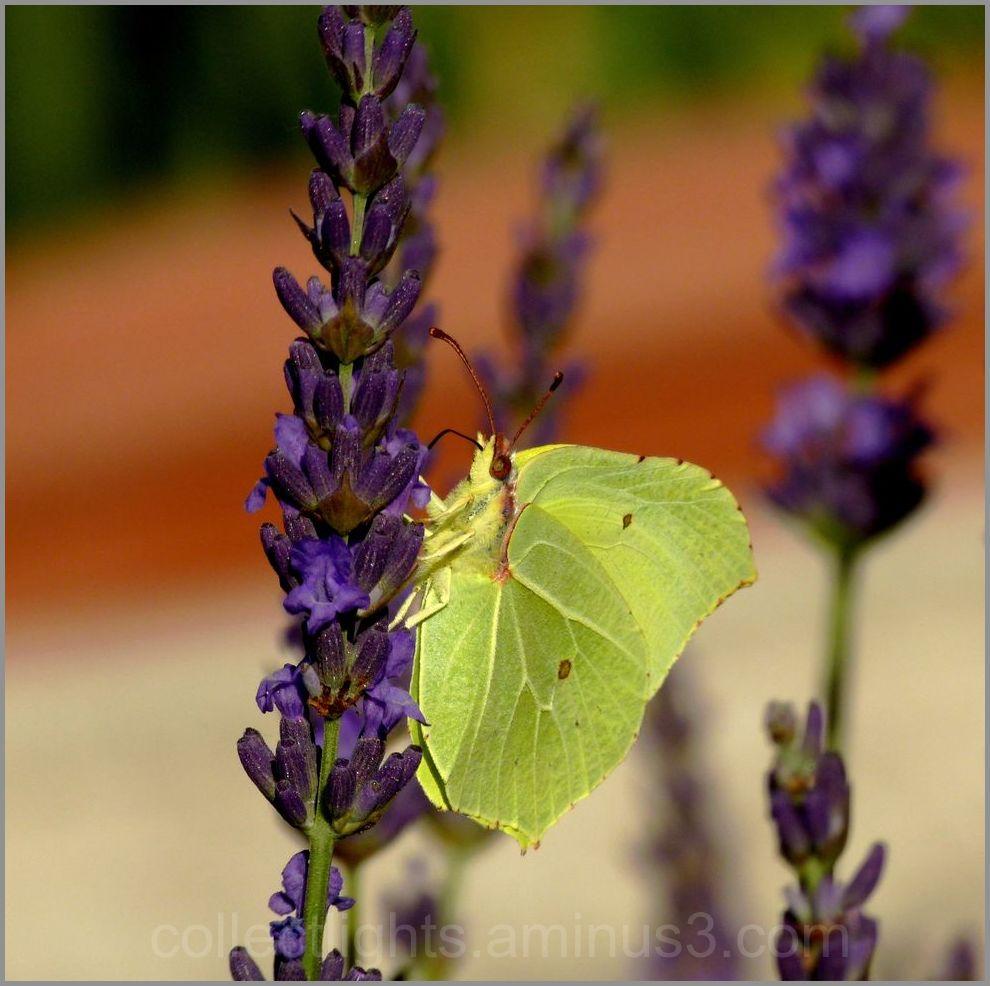 Papillon 51