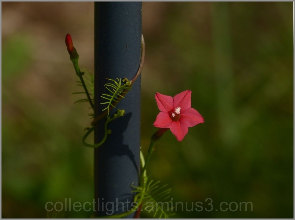 Enroulé de liane fleurie !