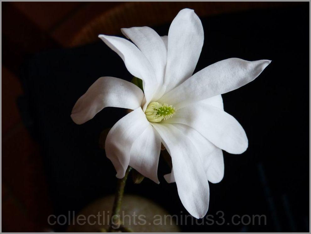 Fleur de magnolia stellata