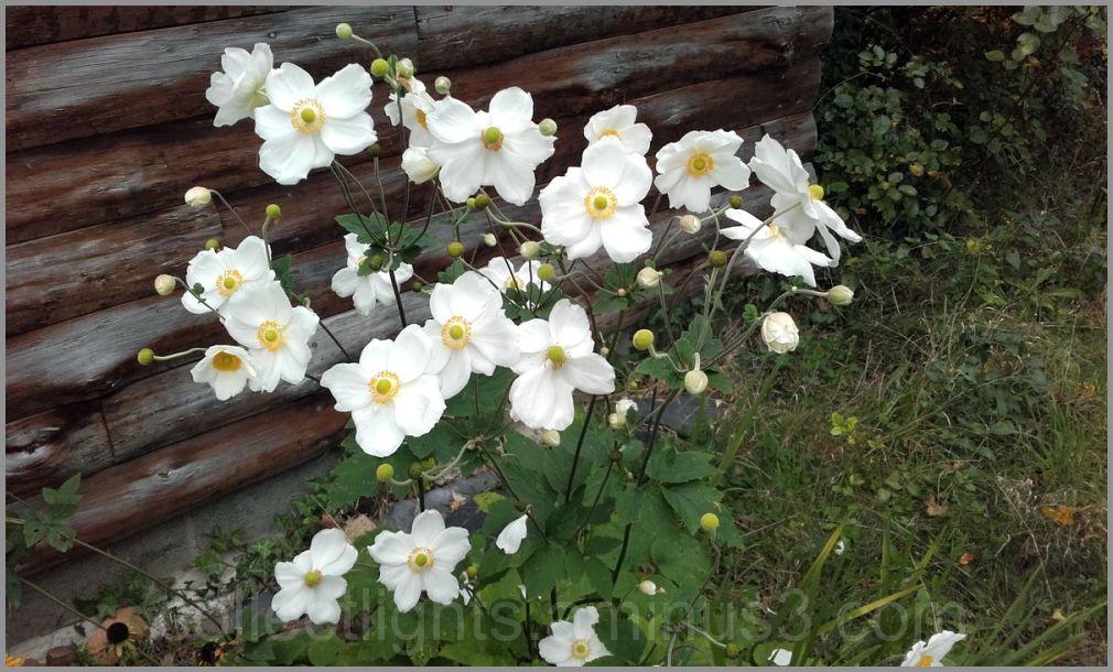 """Anémone """"fleur du vent"""""""