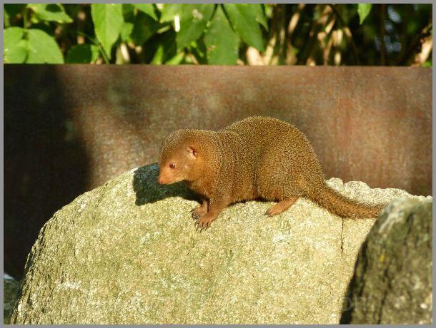 Libre circulation de la mangouste