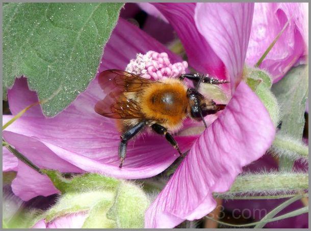 Au creux du lavatère, du pollen à gogo