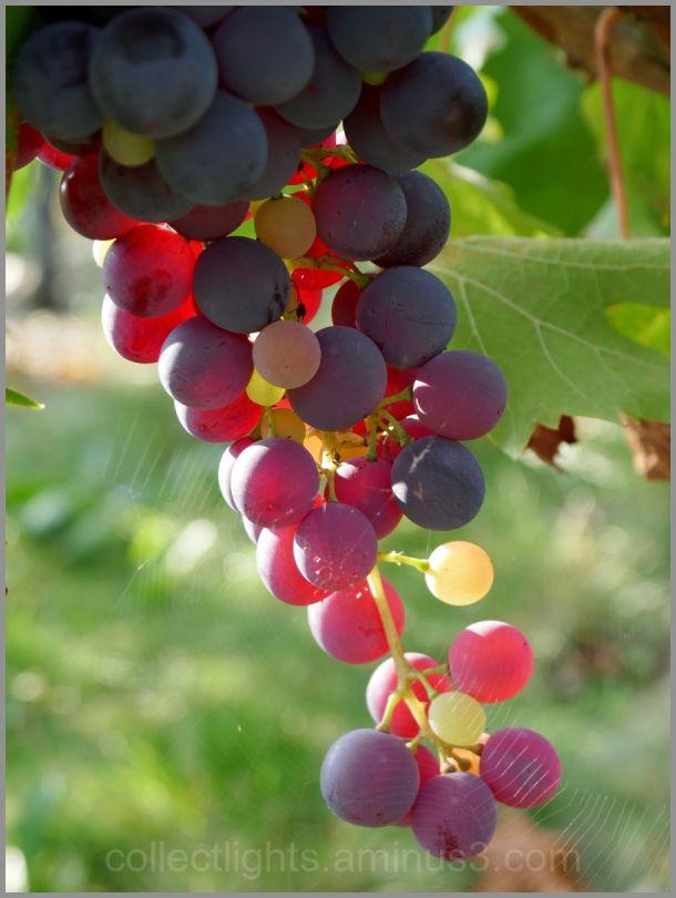Egrenée de couleurs du futur vin