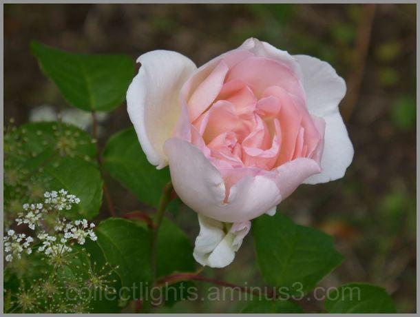Acceptez cette rose...