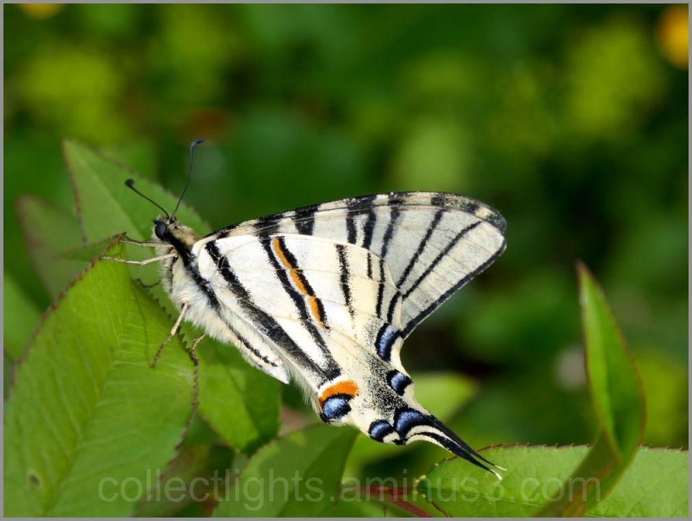 Papillon des pruneliers