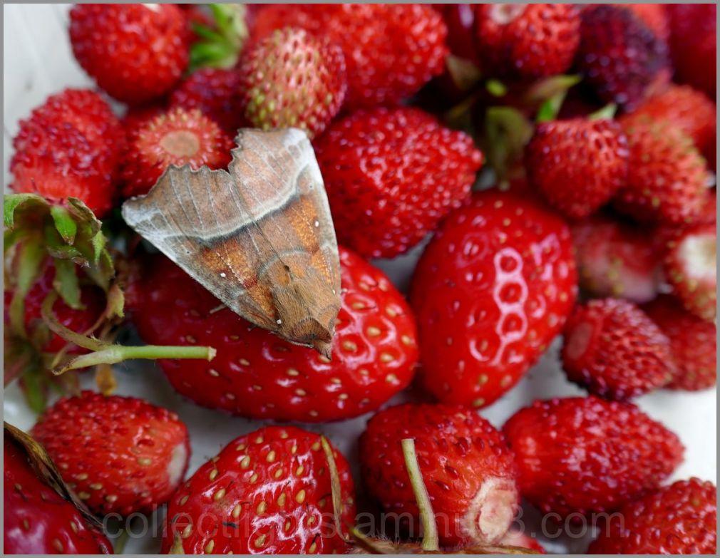 Un intrus dans les fraises