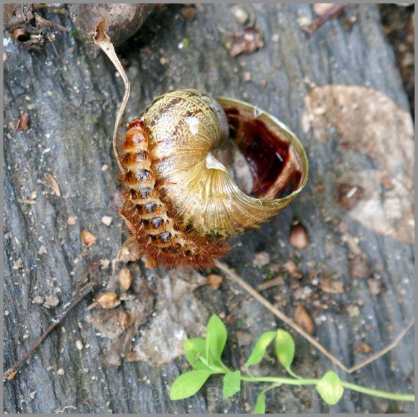 La chenille à l'assaut d'une coquille d'escargot