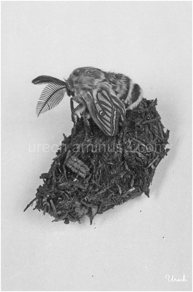 Imagen de la mariposa [i]Graellsia isabellae[/i]