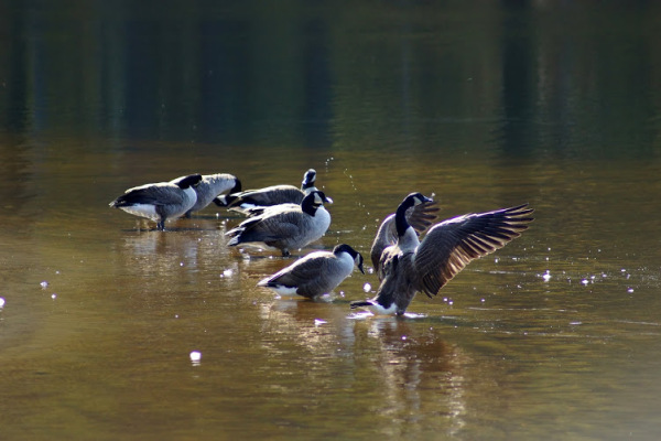 Beautiful geese splashing water