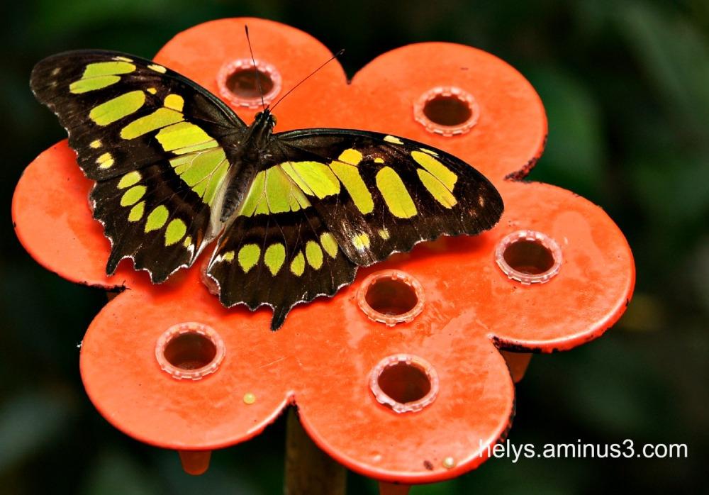 papillon, couleurs, formes, détails