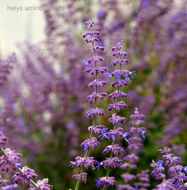 Lavande: flowers1