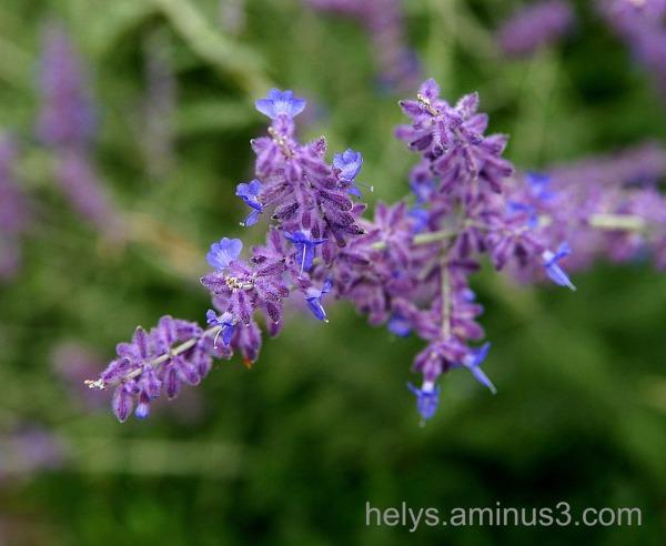 Lavande: flowers4