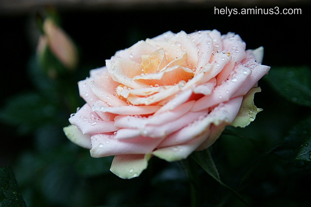 Droplets on a rose