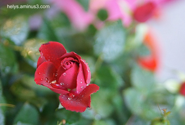 A rose in the rain1
