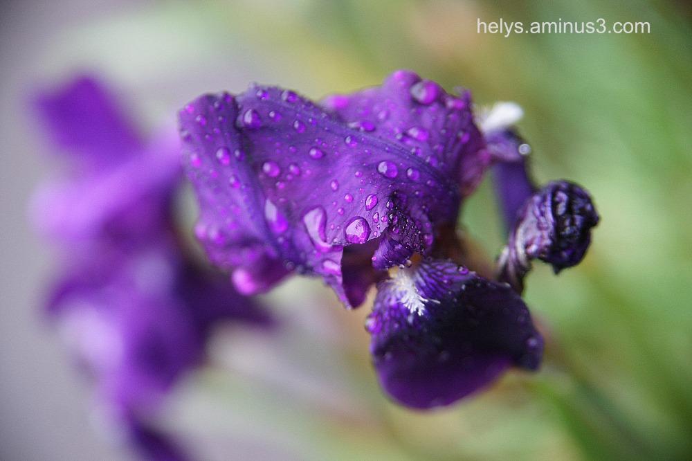 Iris in the rain